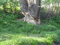 Bobři si troufnou na každý průměr stromu.