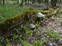 Choroše na levém břehu Kyjovky napadly kmen stromu až v době po jeho spadnutí.