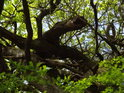 Popadané větve dubu drží jejich živé sestry.